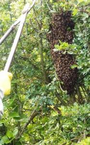 Large Swarm of Honey Bees