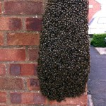 Swarm of honey bees on a house wall