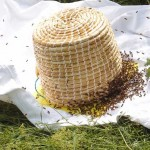 Bees entering a skep